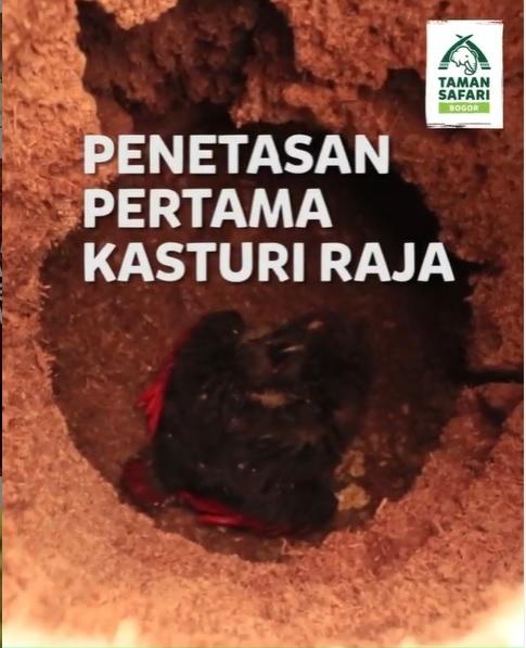 Taman Safari Bogor Sukses Kembangbiakkan Burung Kasturi Raja