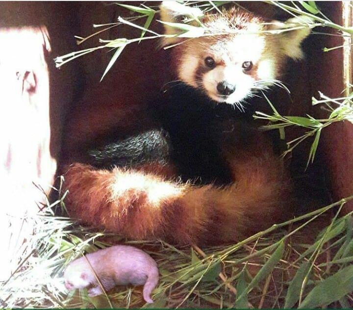 Selamat Datang di Dunia, Baby Red Panda!