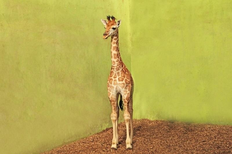 Sambutlah Corona, Bayi Jerapah yang Menggemaskan di Bali Safari!