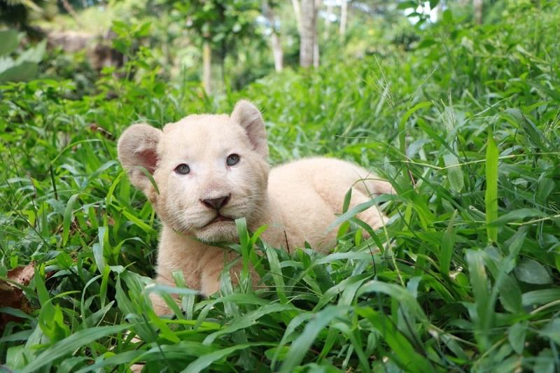 Kelahiran Bayi Singa Putih di Taman Safari Prigen Saat Pandemi COVID-19