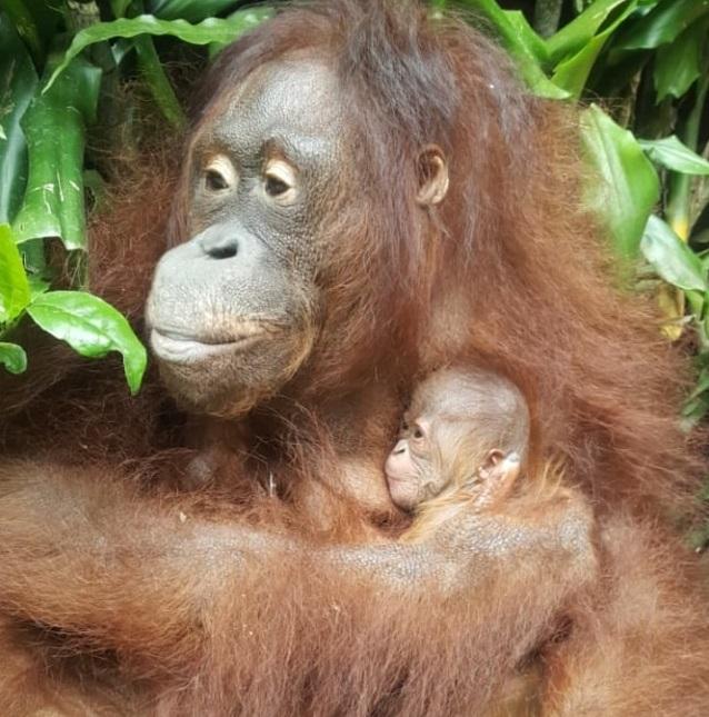 Mari Berkenalan dengan Fitri, Bayi Orang Utan di Taman Safari Bogor