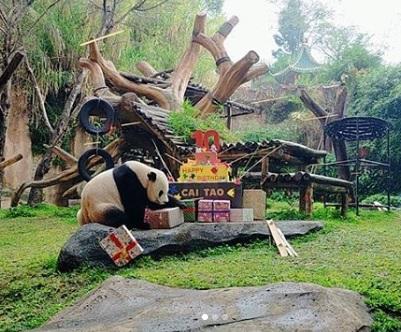 Selamat Ulang Tahun Cai Tao, Panda Lucu dan Menggemaskan!