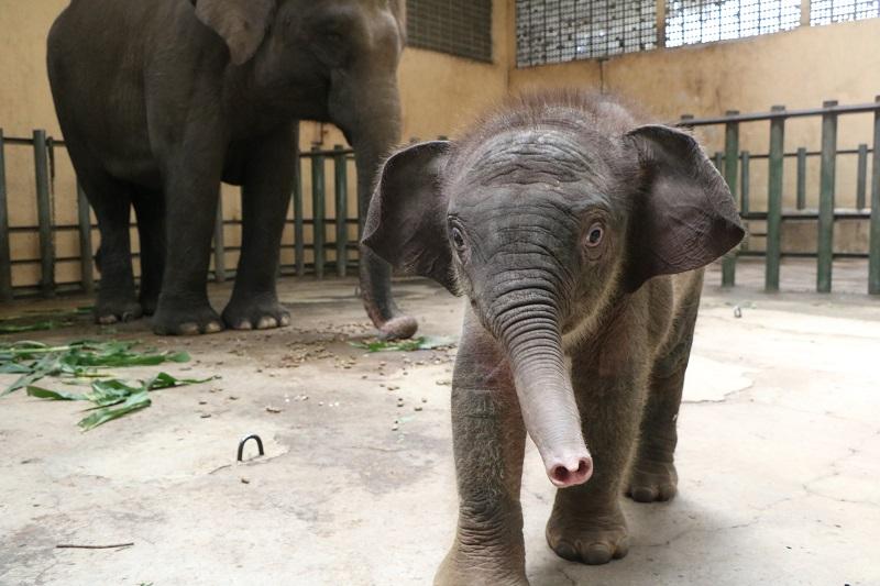 Sambut World Elephant Day, Bayi Gajah Sumatera Lahir di Taman Safari Prigen