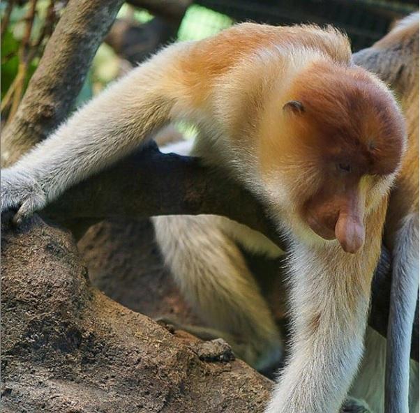Mengenal Lebih Dekat Satwa Khas Kalimantan di Bali Safari Park