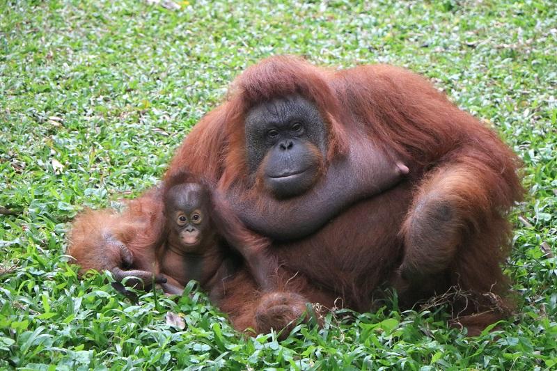 Yuk, Kenalan dengan Nanda, Bayi Orangutan yang Baru Lahir di Taman Safari Prigen!