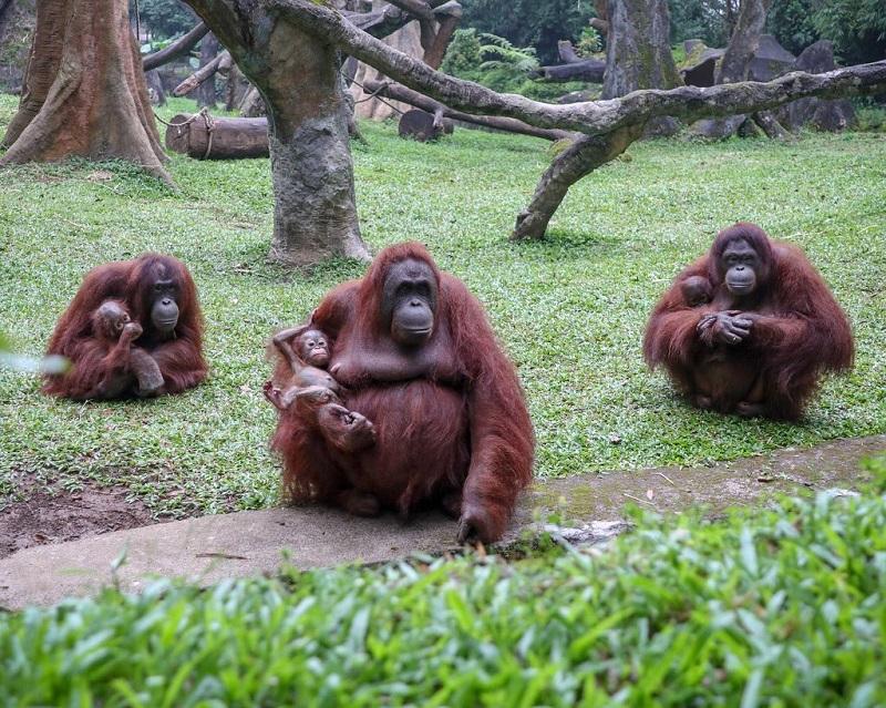 Bukan Satu, Tapi Ada Tiga Bayi Orangutan yang Baru Lahir di Taman Safari Bogor!