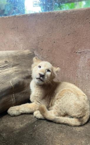 Ada Gisel, Si Anak Singa Putih di Baby Zoo Taman Safari Prigen!