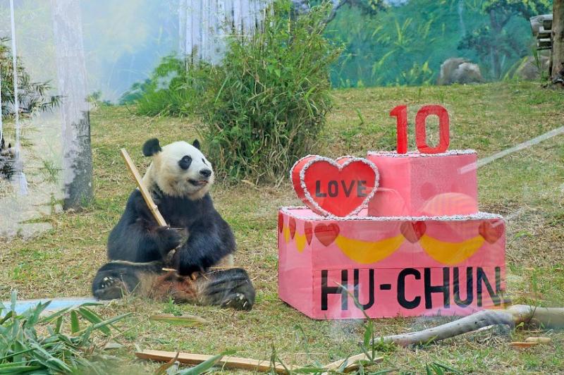 Selamat Ulang Tahun Hu Chun, Giant Panda Betina di Taman Safari Bogor