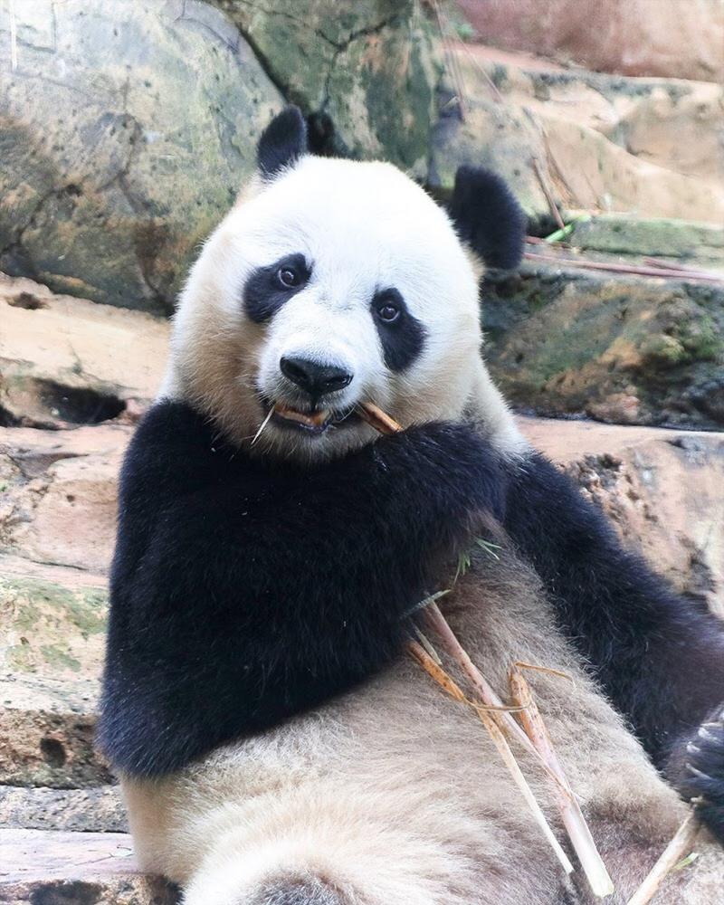 Taman Safari Bogor Rayakan 3 Tahun Kedatangan Giant Panda