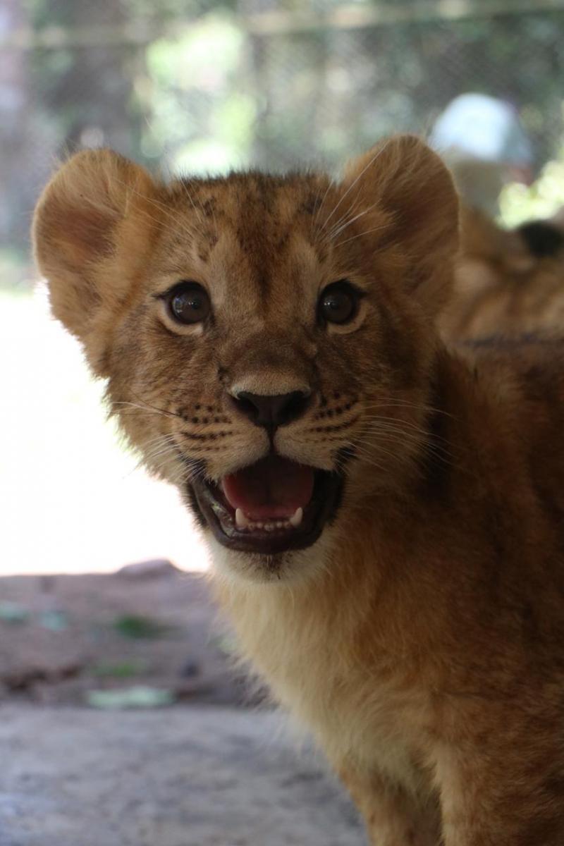Tiga Bayi Singa di Taman Safari Prigen Ganti Nama Jadi Alfa, Beta, dan Gamma