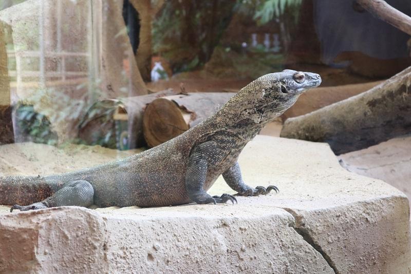 Taman Safari Bogor Miliki Exhibit Komodo Kelas Dunia