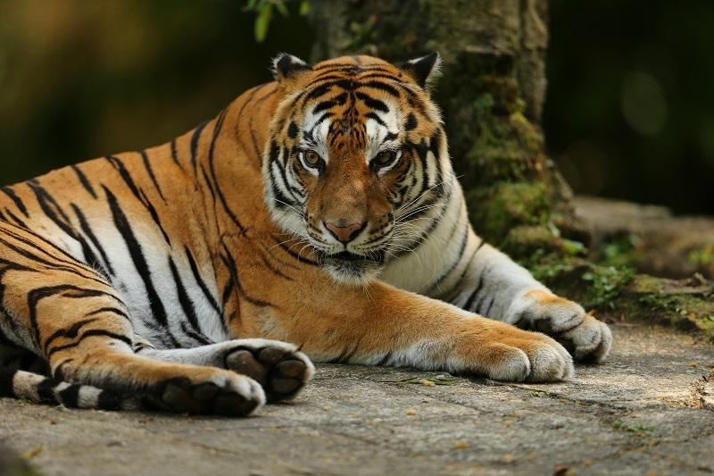 Mencegah Harimau Sumatera dari Kepunahan!
