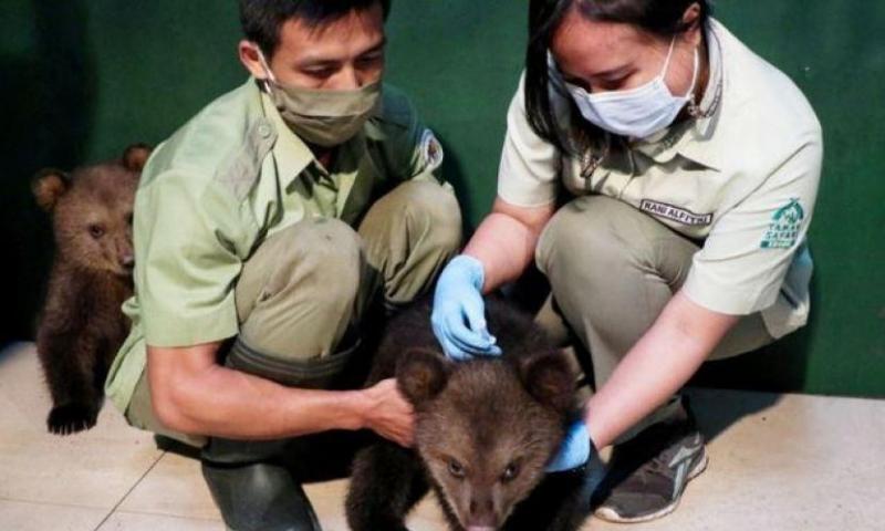 Taman Safari Bogor Gelar Imunisasi Perdana Dua Ekor Bayi Beruang Cokelat