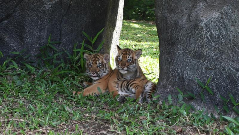Menyambut Global Tiger Day , Taman Safari Prigen Merilis Isyana dan Aura