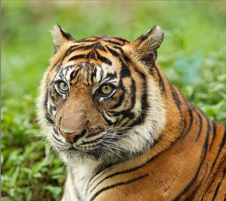 Konservasi Harimau Sumatera di Taman Safari Indonesia