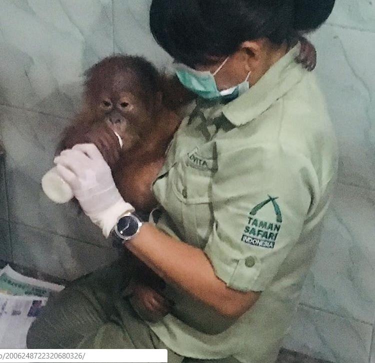 Taman Safari Indonesia Rawat Anak Orangutan Korban Penyelundupan