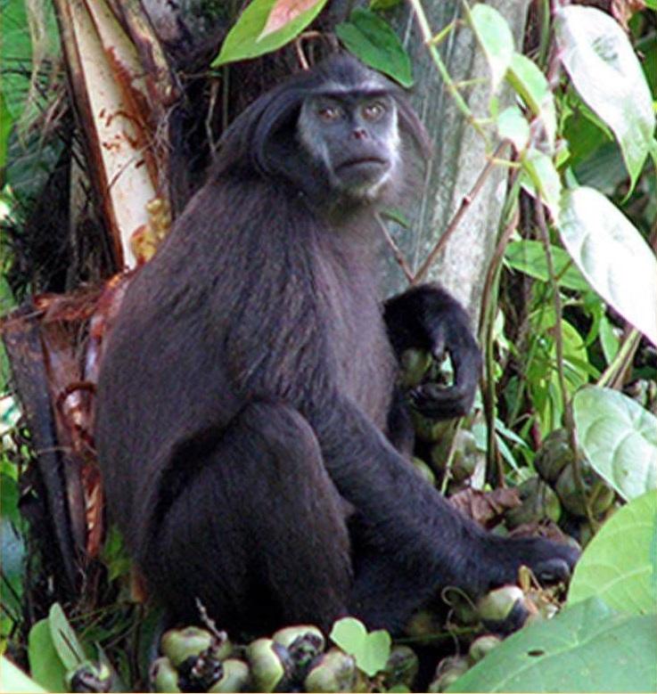 Simakobu, salah satu primata endemik di Mentawai