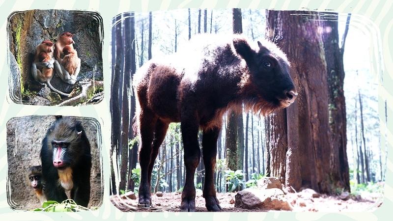 Keberhasilan Breeding di Taman Safari Prigen