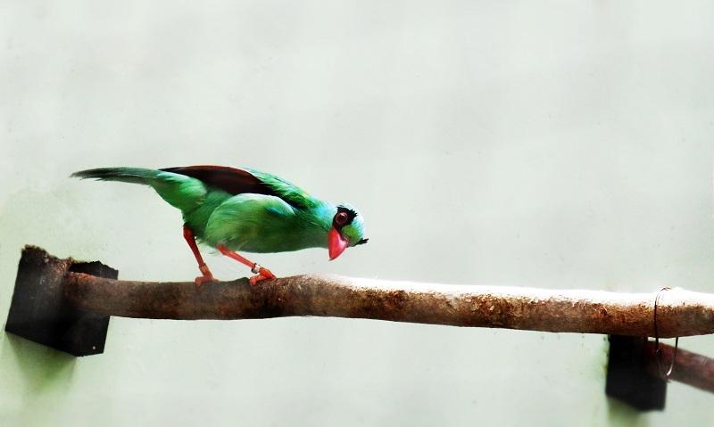 Konservasi Burung Berkicau di Taman Safari Prigen