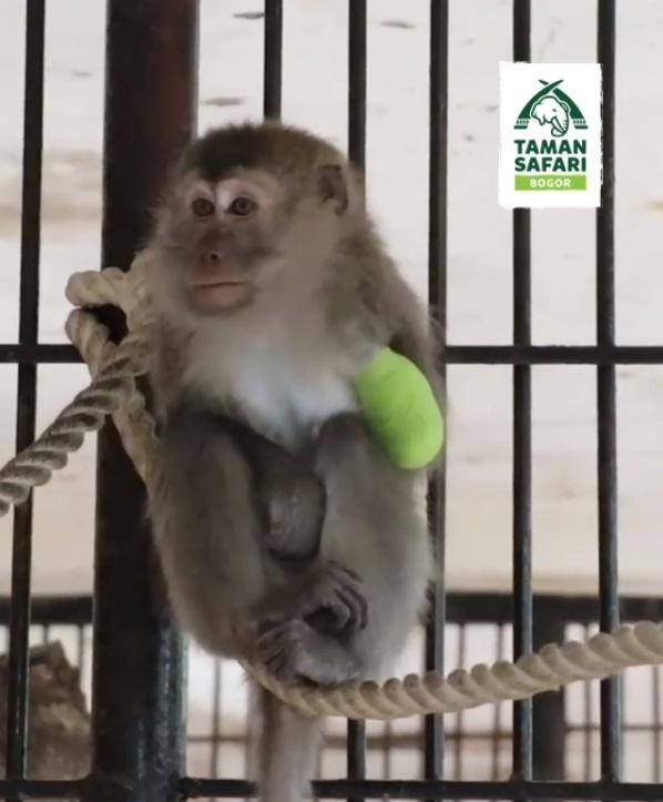 Monyet yang Terluka itu Akhirnya Berhasil Diobati!