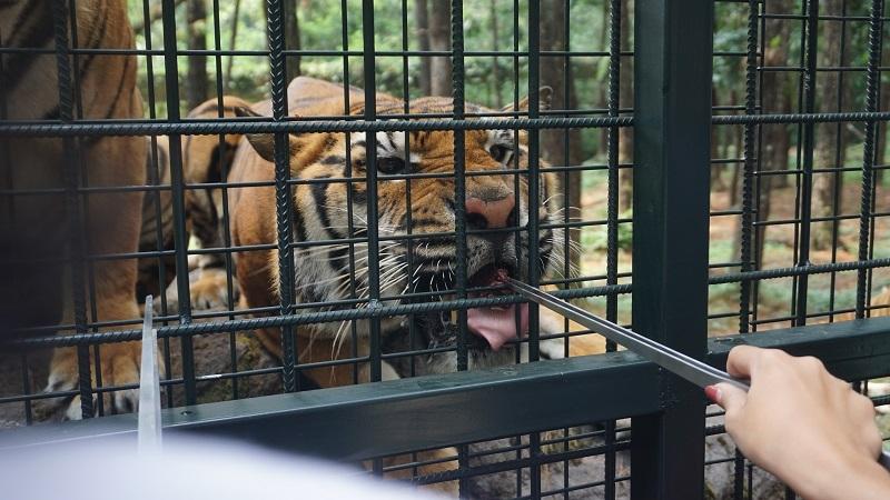 Carnivore Feeding Adventure, Sensasi Memberi Makan Satwa Karnivora di Taman Safari Prigen