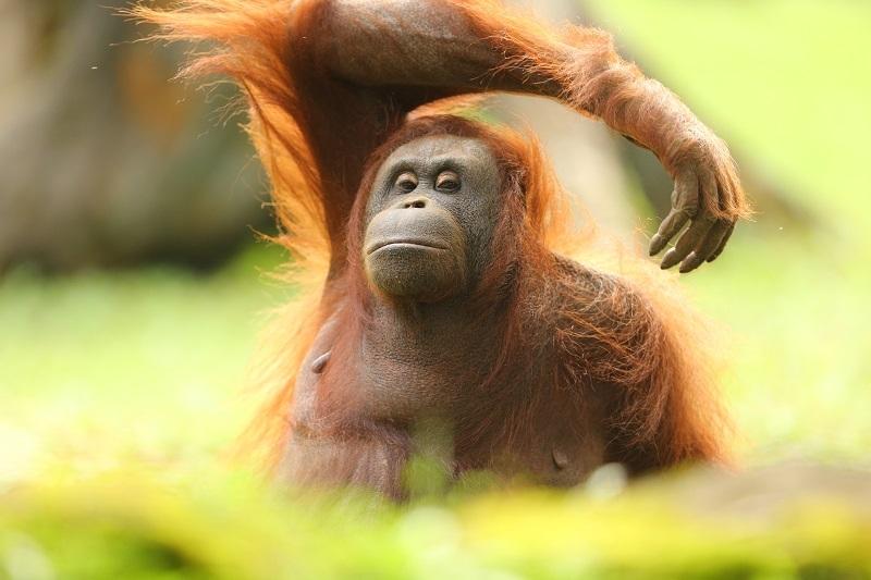 Orangutan, Satwa Paling berjasa Sebarkan Benih Pohon