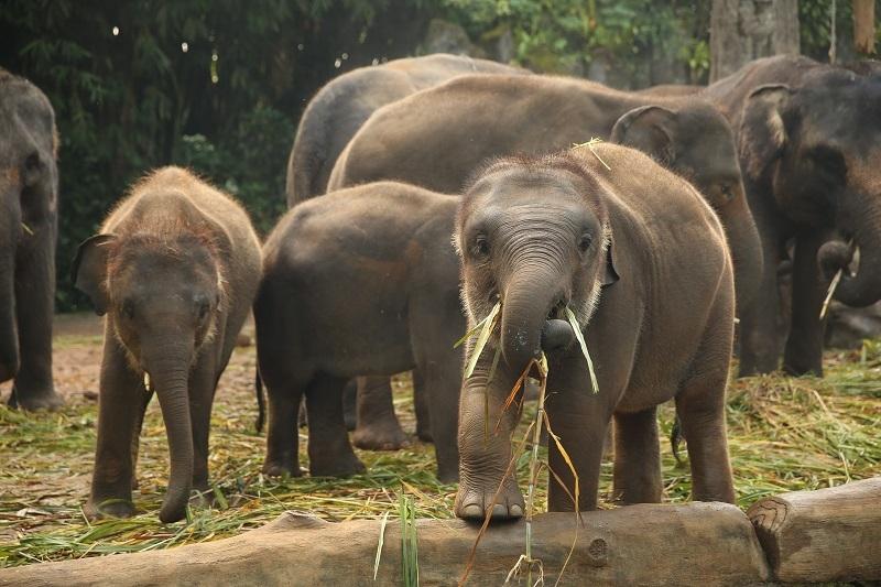Selamatkan Gajah Sumatera!