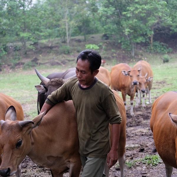 Jaliteng, Persilangan Banteng Jawa dan Sapi Bali